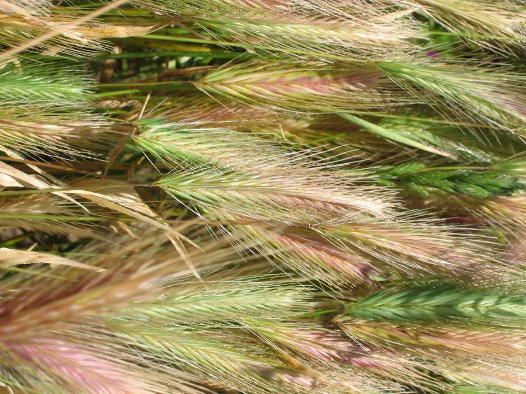 Barley grass awns
