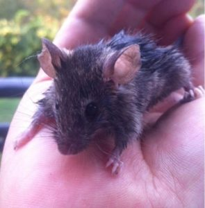 Bedraggled mouse rescued from Stinky