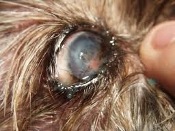 Typical thick sludge and some corneal discoloration affects this dog's vision