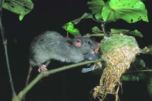 Rat raiding bird nest