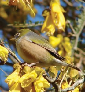 Birds – like this Silvereye – formed part of Peng You's hunting prey, but her activities appeared to make no impact on the abundance of birds in the garden.