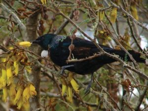 Tui moved into Peng You's hunting area over her lifetime, possibly attracted by the increasing native vegetation, but she was never known to have caught one.