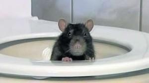 rat in loo